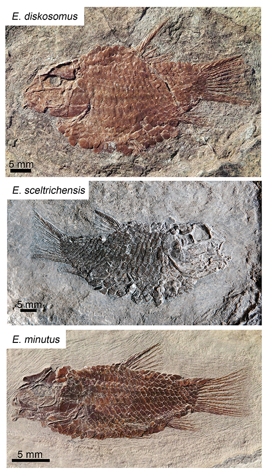 Fossil fish Eosemionotus diskosomus and relatives. Credit: A. López-Arbarello